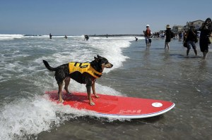 mongrel surfing in California.                                                Courtesy of the guardian.co.uk