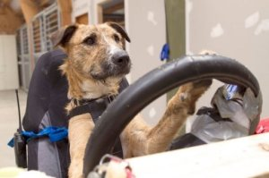 """Porter"" the driver dog behind the wheel"